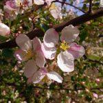 jabłońblog