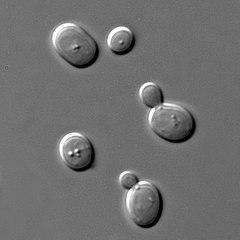 https://pl.wikipedia.org/wiki/Saccharomyces_cerevisiae#/media/Plik:S_cerevisiae_under_DIC_microscopy.jpg
